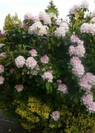 ดอกไม้สวยๆ สีชมพู จัดสวนหย่อมหน้าบ้าน