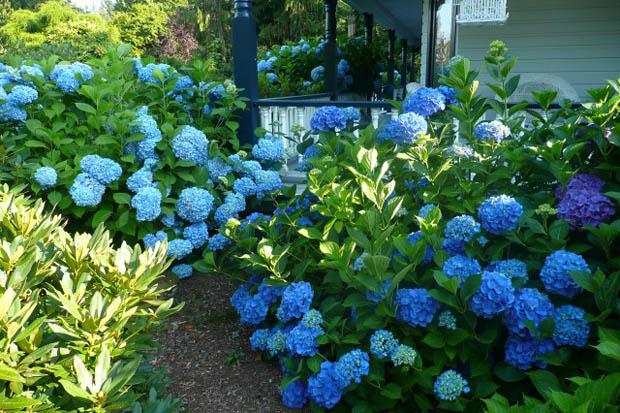 ดอกไม้สีฟ้า น้ำเงิน ริมทางข้างบ้าน
