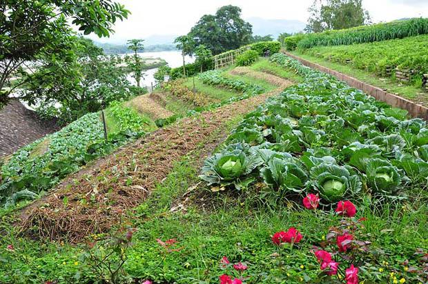 สวนผัก แปลงผัก บนดอยเชียงราย