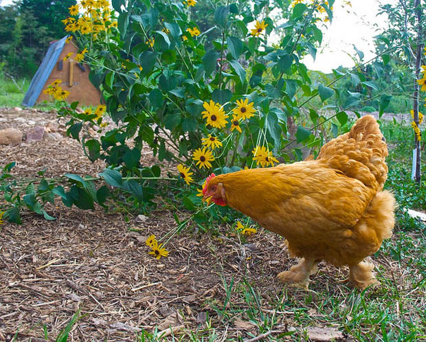 ไก่ไข่ การเลี้ยงไก่ไข่ ไว้ที่บ้าน