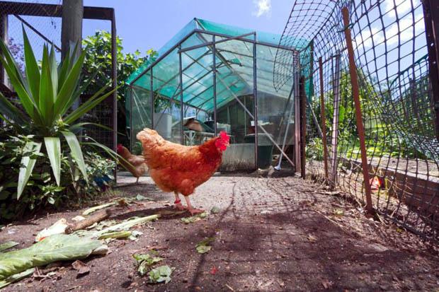 แบบคอกไก่ เล้าไก่ เลี้ยงไก่ข้างบ้าน