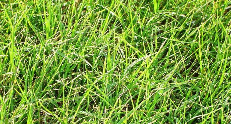 หญ้าเบอร์มิวดาทีฟกรีน