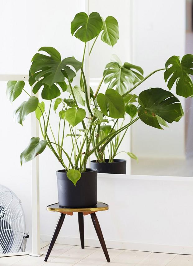 พลูฉีก (Monstera Deliciosa) และ Philodendron-ฟีโลเดนดรอน