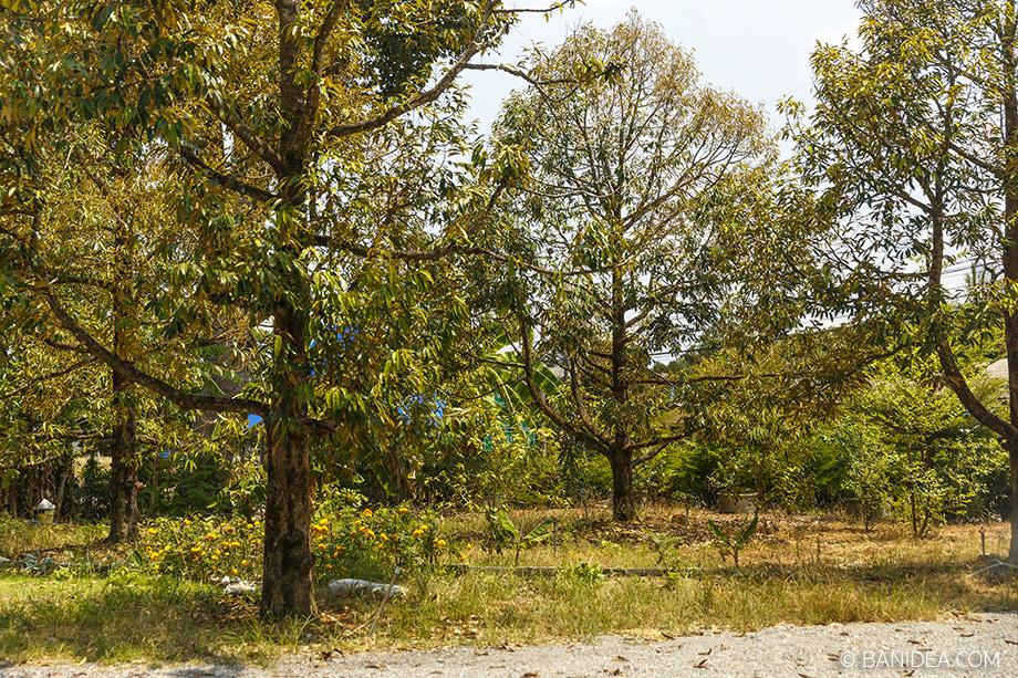 สวนทุเรียน จันทบุรี