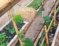 แปลงผักสวนครัวหลังบ้าน