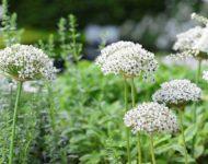 Allium nigrum (SYN. Multibulbosum )