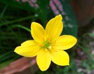 บัวดิน Rain Lily