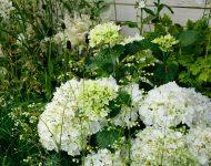 Hydrangea-macrophylla-Nymphe