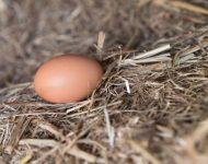 ไข่ไก่จากแม่ไก่เลี้ยงเอง