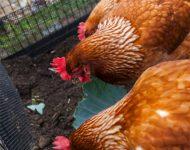 ฟาร์มไก่เล็ก ๆ ในบ้าน