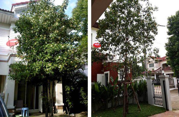 ต้นไม้ให้ร่ม ปลูกไว้ข้างบ้าน