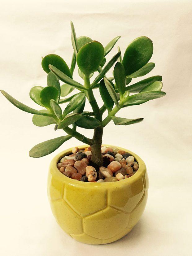 Jade-plant คลาสซูล่า