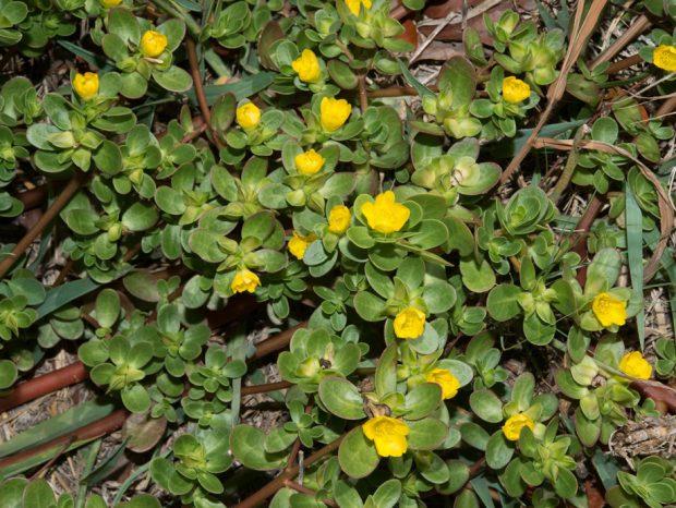 Common Purslane, Little Hogweed (Portulaca oleracea)
