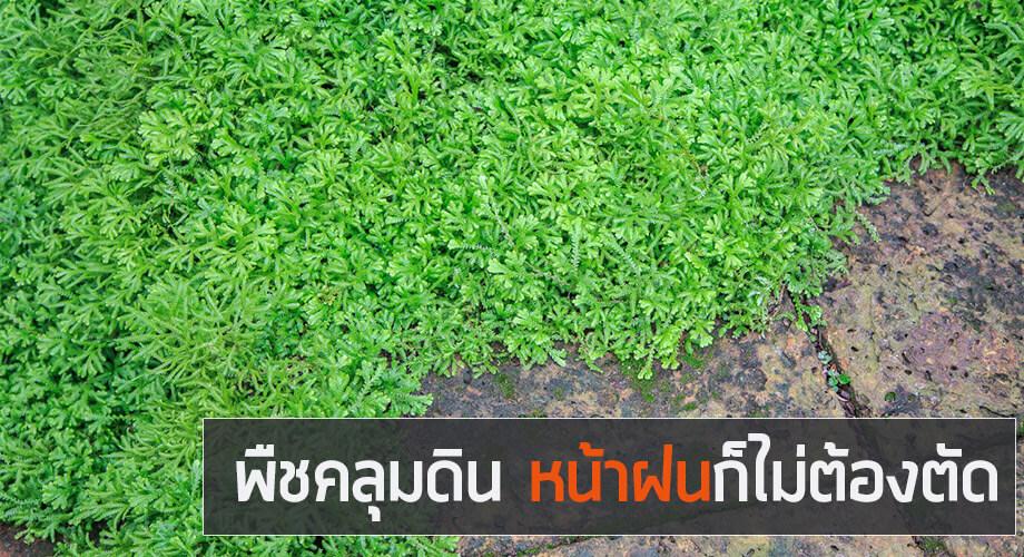 พืชคลุมดิน