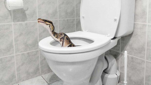 งูในชักโครก