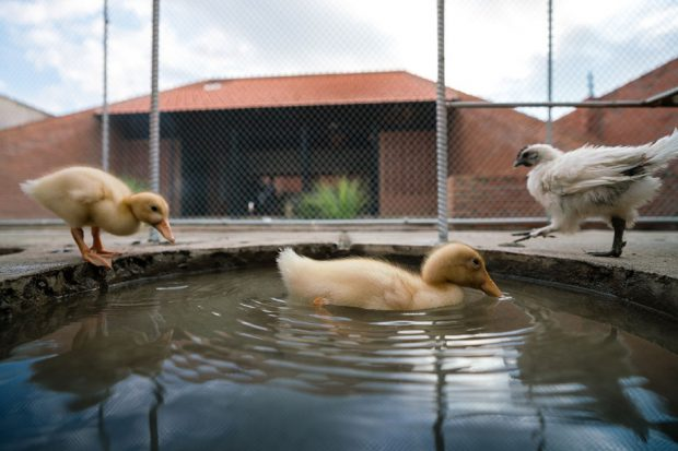 บ่อน้ำเล็ก ๆ ให้เป็ดและไก่