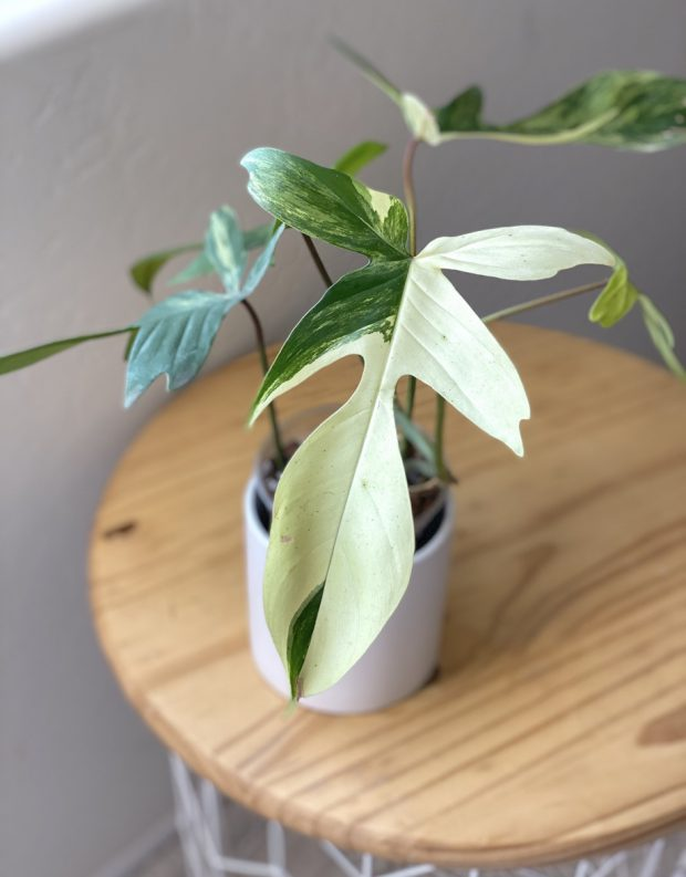 philodendron-florida-beauty-01